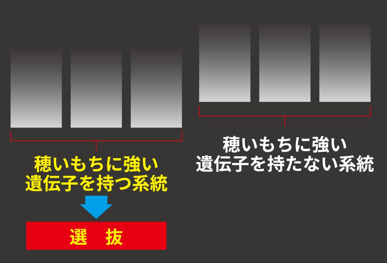 あおもり米:先端技術も採り入れた新品種の開発